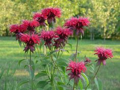 Full Sun - Part Shade; needs well-drained soil that retains moisture. Water bee balm regularly and deeply, but be careful not to allow the flower to Media Sombra, List Of Flowers, Hummingbird Flowers, Powdery Mildew, How To Attract Hummingbirds, Hardy Perennials, Shade Plants, Flower Pictures, Flower Seeds