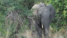 a Young Elephant hiding behind a bush.