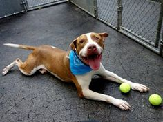 TO BE DESTROYED - 09/21/14 Manhattan Center   TYSON - A0979905 *** RETURNED ON 9/18/14 ***  NEUTERED MALE, BROWN / WHITE, AM PIT BULL TER MIX, 6 yrs OWNER SUR - EVALUATE, NO HOLD Reason LLORDPRIVA  Intake condition EXAM REQ Intake Date 09/18/2014, From NY 10026, DueOut Date 09/18/2014,  https://www.facebook.com/Urgentdeathrowdogs/photos/a.611290788883804.1073741851.152876678058553/680383158641233/?type=3&theater