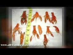 Cray Fish Facts #crayfish #shikenanafrican #africanshop #food