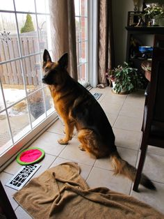 GSD - My Fara <3 Fara's guarding the back yard from the patio window...