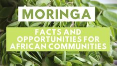 Moringa oleifera Facts and Opportunities for African Communities Miracle Tree, Horticulture, Science And Technology, Gardening Tips, Opportunity, Insight, African, Training, Facts