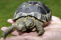 Janus la tartaruga a due teste compie 20 anni