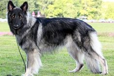 Shiloh Shepherd: Complete Guide For This Giant Breed - Bark Friend