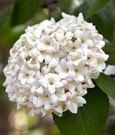 Koreanspice viburnum (Viburnum carlesii) There's something magical about Koreanspice viburnum in late April or early May when its snowball-like white flower clusters open to spill their intoxicating fragrance into the air—a fragrance so heady it can be enjoyed from 10 metres away.
