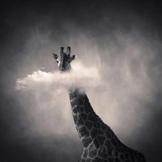 YellowKorner : Girafe - Denis Olivier