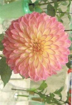 Dahlia 'Crazy For Teddy' Fresh Flowers, Beautiful Flowers, Dahlia Flowers, Sugar Flowers, Growing Dahlias, Garden Catalogs, Gladioli, Summer Plants, Herbaceous Perennials