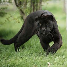 Black Jaguar by Colin Langford on 500px