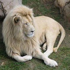 Photo of a Black Lion?
