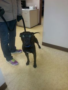 BUBBA Pit Bull Terrier • Young • Male • Medium Wood County Dog Shelter Bowling Green, OH