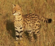 The Serval (Leptailurus serval) is a three to four foot long African wild cat that is believed to be the ancient ancestor of both the lion and the cheetah. It inhabits the same territory, the African savanna. Servals have small heads and long legs, efficient for chasing prey through the grass. They are also highly intelligent. Servals are the wild cat most often kept as house pets. The large domestic breed Savannah is a cross between a Serval and a domestic cat.