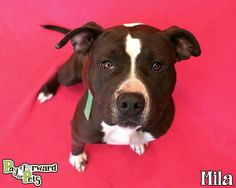 Meet Mila *12 dogs of Christmas*, a Petfinder adoptable Terrier Dog | Akron, OH | Note:  Please keep in mind that all adoptable pets need time to decompress once they enter a home. ...