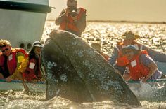 Baja Adventure: 'Life-changing' encounters with gray whales and their babies - Daily Breeze