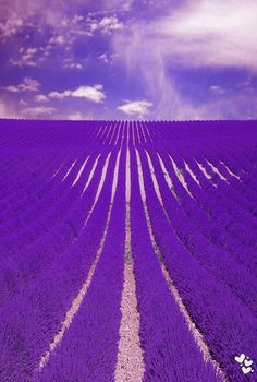 Lavender Farm in England