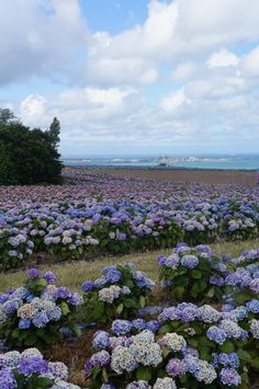 Champs d'hortensias. Côtes d'armor, some of my favourite flowers