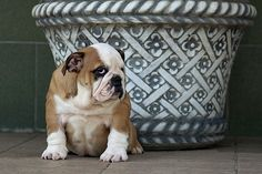 Puppy Photograph -  Puppy And Vase by Irina Safonova