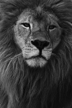 I have a new obsession with lions ~ too cool love them!