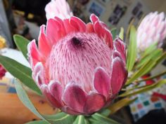 A Hybredised protea. Cottages, Cape, Flora, Fruit, Plants, Mantle, Cabins, Cabo, Country Homes