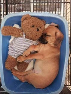 This little puppy napped with his teddy: