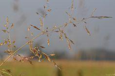 Straw... Iphone 5s, Dandelion, Fruit, Flowers, Plants, Pictures, Photos, Dandelions, The Fruit