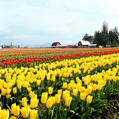 12 best tulip fest images tulip tulips tulips flowers rh pinterest com