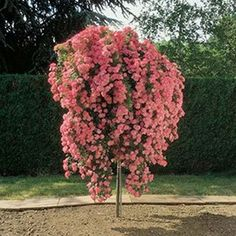 ROSIER TIGE PLEUREUR 'SCHUSS®' MEILIAXI - Un rosier recouvert de fleurs roses. Spectaculaire !Obtention Meilland
