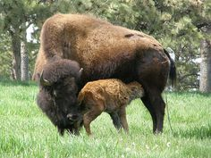 Buffalo Meat - Nutrition Facts | How to Cook | History and More