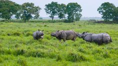 Government of India has decided to increase the fund allocated to Kaziranga National Park for setting up Rhino protection force.. #Travel #WildLife