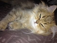 """""""A little drowsing cat is an image of perfect beatitude."""" --Jules Champfleury"""
