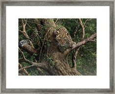 Amur Leopard Cub Climbing A Tree Framed Print by Alan M Hunt Wildlife Paintings, Wildlife Art, Cat Paintings, Animal Art Prints, Canvas Art Prints, Framed Prints, Leopard Cub, Clouded Leopard, Big Cats Art