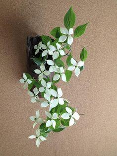 山法師 Benthamidia japonica