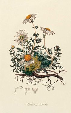 Remedies To Relief Pain The Best Herbs for Pain Relief—Aromatherapists use chamomile essential oil to promote relaxation and pain relief. Check out the link for more natural pain relief solutions. Botanical Tattoo, Botanical Drawings, Botanical Art, Botanical Flowers, Botanical Science, Illustration Herbes, Illustration Art, Art Illustrations, Impressions Botaniques