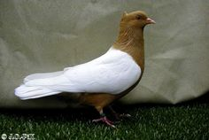 Archangel Pigeon Pigeon Cage, Pigeon Bird, Dove Pigeon, Pretty Birds, Beautiful Birds, Animals Beautiful, Fantail Pigeon, Racing Pigeon Lofts, Pigeon Pictures
