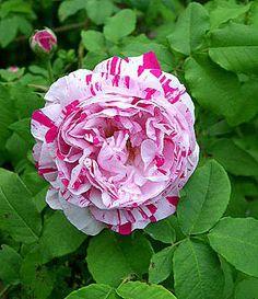 Variegata Di Bologna - Bourbon Rose