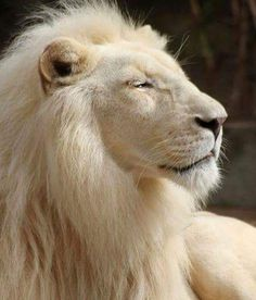 majestic pose - lion, the king of cats! The Animals, Nature Animals, Wild Animals, Strange Animals, Wildlife Nature, Animals Images, Baby Animals, Beautiful Cats, Animals Beautiful