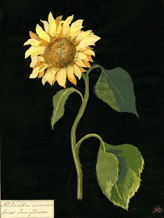 "Mary Delany (English, 1700-1788) - ""Helianthus Annuus"" (Sunflower), 1772-82 - Collage of coloured papers, with bodycolour and watercolour, on black ink background"