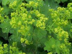Alchemilla vulgaris Vrouwenmantel Bloeikleur: Geelgroen Blad: Groen Hoogte: 25 - 40 cm Aantal per m²: 8 - 11 Standplaats: Volle zon / halfschaduw. Bloeitijd: Juni/Sept