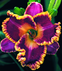 Daylily...absolutely beautiful colors!