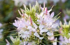 Kattensnor Flowers, Plants, Plant, Royal Icing Flowers, Flower, Florals, Floral, Planets, Blossoms