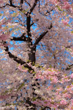 2015 Essex County Cherry Blossom Festival