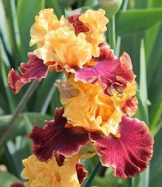 TB Iris germanica Sweet Svengali (Blyth, 2010)