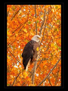Wonderful Photos beautiful birds of prey Concepts To be a wildlife associated with fodder photographer, the most important difficulty many complain about would Pretty Birds, Beautiful Birds, Animals Beautiful, Animals And Pets, Cute Animals, Eagle Pictures, Autumn Scenes, Jolie Photo, Colorful Birds