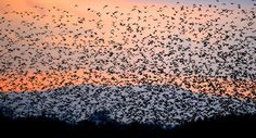 Starling murmurations – in pictures