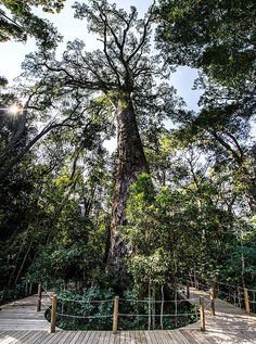 """The Big Tree And Ratel Hiking Trails - Storms River Village - The well sign-posted """"Big Tree"""" is situated on the just east of the entrance to Storms River Village. African Tree, Big Tree, Places Of Interest, Hiking Trails, South Africa, Storms, Tourism, Places To Visit, Street View"""