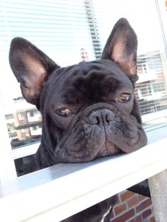 French Bulldog, Looking down from the balcony last summer.