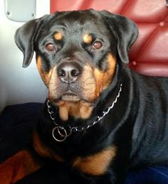 so pretty. Rottweiler Breed, Cute Puppy Pictures, Rottweilers, Doberman Pinscher, My Baby Girl, Kids House, Cuddle, Labs, Cute Puppies