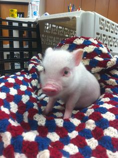 this makes me want a mini pig for a pet