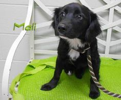 Mali is an adoptable Spaniel Dog in Fort Wayne, IN. If you are interested in meeting me I will be at the Northern Indiana Pet Expo this Saturday and Sunday at the Memorial Coliseum.For more informati...