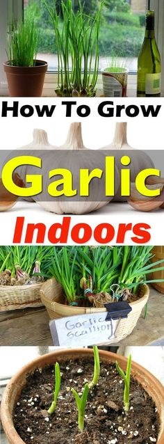 To Grow Garlic In Pots Growing garlic indoors is not difficult and you'll be able to get . How To Grow Garlic In Pots Growing garlic indoors is not difficult and you'll be able to get the supply of fresh green stalks, flowers, and even the garlic bulbs. Indoor Vegetable Gardening, Hydroponic Gardening, Container Gardening, Organic Gardening, Gardening Tips, Gardening Services, Gardening Books, Aquaponics Greenhouse, Hydroponic Growing