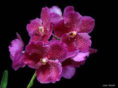 Fuchs Katsura X Vanda Orchid   Vanda Fuchs Fuchsia x Vanda Dr. Anek